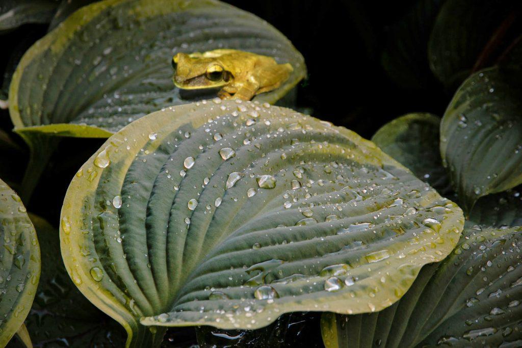 Frosch auf feuchten Blättern