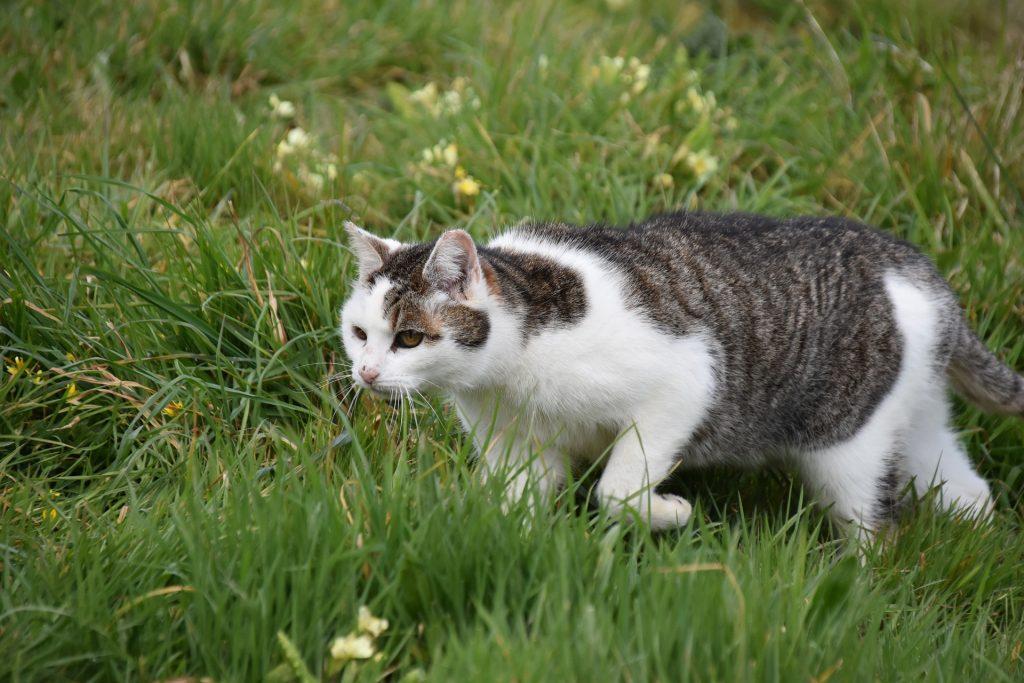 Jagende Katze