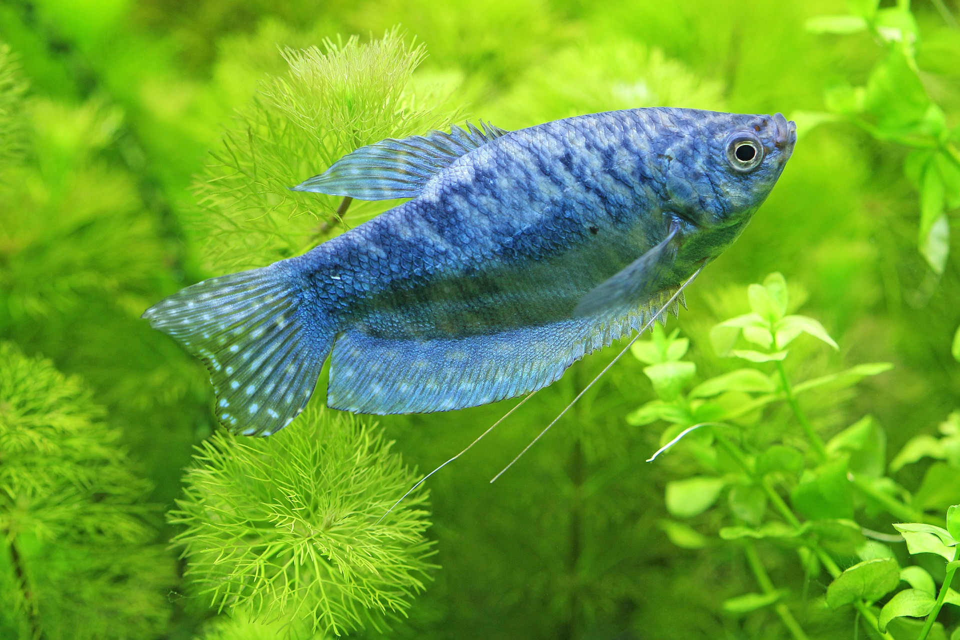 Aquarium mit blauem Fisch