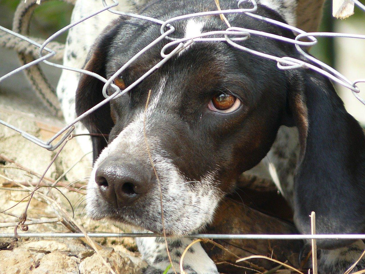 Hund guckt durch ein Loch im Zaun