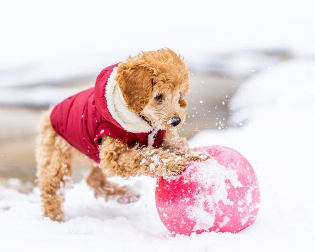 kleiner Hund mit Hundemantel im Schnee
