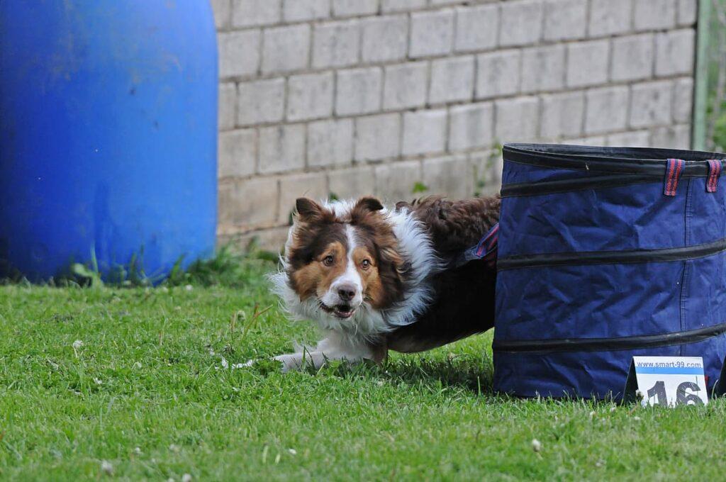 Border Collie Yes zeigt sich extrem motiviert beim Hoopers Training